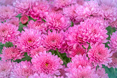 Chrysanthemum (feverfew) Stock Images