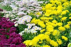 Chrysanthemum Field. stock photography
