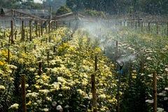 Chrysanthemum Garden. Chrysanthemum flora in tropical garden Royalty Free Stock Photos