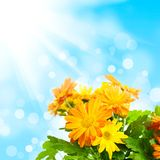 Chrysanthemum floral background Royalty Free Stock Photo