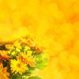 Chrysanthemum floral background Stock Images