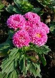 Chrysanthemum or florist Mums Stock Photography
