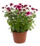 Chrysanthemum flower Stock Images
