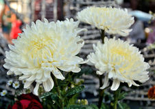 Chrysanthemum flower Royalty Free Stock Photos