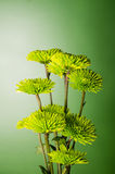 Chrysanthemum flower arrangement on green background royalty free stock image