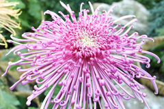 Chrysanthemum flower Stock Photos