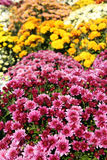 Chrysanthemum flower autumn scene Stock Photos
