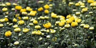 Chrysanthemum flower background. Many wild yellow chrysanthemum flowers,green leaves Stock Image