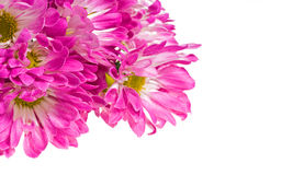 Chrysanthemum flower background Royalty Free Stock Photos