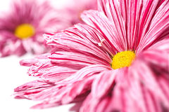 Chrysanthemum flower background Stock Photos