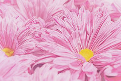 Chrysanthemum flower background Stock Photography