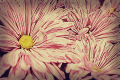 Chrysanthemum flower background Royalty Free Stock Photo