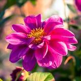 Chrysanthemum flower background. Stock Photo