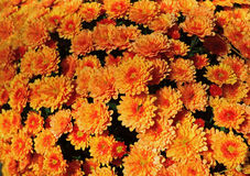 Chrysanthemum Flower Background Stock Images