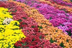 Chrysanthemum flower-bad Royalty Free Stock Images