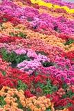 Chrysanthemum flower-bad Stock Photo