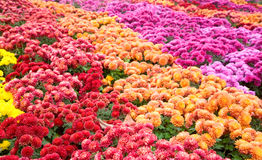 Chrysanthemum flower-bad Stock Image