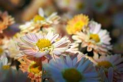 Chrysanthemum flower bed Stock Photo