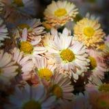 Chrysanthemum flower bed Stock Image