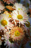 Chrysanthemum flower bed Stock Photography