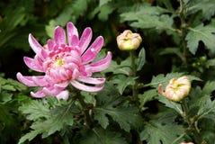 Chrysanthemum flower and bud Stock Photo