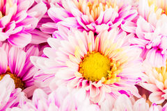Chrysanthemum flower in chiangmai Thailand Stock Image