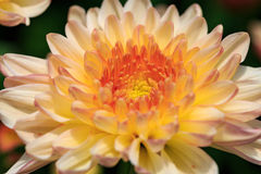 Chrysanthemum flower. Close up royalty free stock photo