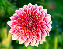 Chrysanthemum flower close-up Royalty Free Stock Photography