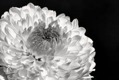 Chrysanthemum flower close up / macro in black and white royalty free stock photo