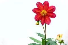 Chrysanthemum flower Royalty Free Stock Photo