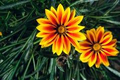 Chrysanthemum flower. The close-up of Two flowers of Chrysanthemum. Scientific name: Gazania rigens Moench Royalty Free Stock Photo