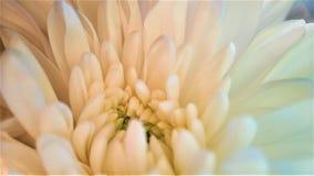 Chrysanthemum flower close up white bouquet macro stock images