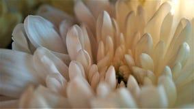 Chrysanthemum flower close up white bouquet macro royalty free stock photography