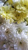 Chrysanthemum flower close up white yellow bouquet macro stock photos