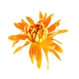Chrysanthemum flower closeup. Chrysanthemum flower Golden autumn isolated on a white background Stock Image