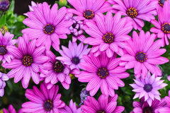 Chrysanthemum flower,closeup of purple Chrysanthemum flower in full bloom Stock Image