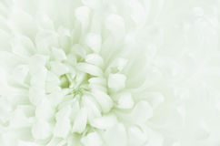 Chrysanthemum flower Royalty Free Stock Photography