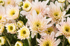 Chrysanthemum flower closeup Stock Photo
