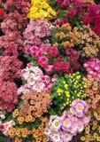 Chrysanthemum Flower. Chrysanthemum Colorful fall mums in a garden display Royalty Free Stock Photos