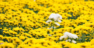 Chrysanthemum. Flower in  DaLat city, Vietnam Stock Photography