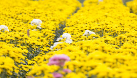 Chrysanthemum. Flower in  DaLat city, Vietnam Royalty Free Stock Images