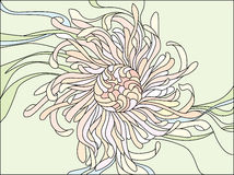 Chrysanthemum flower Stock Images