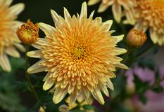 Chrysanthemum flower exhibition in Bhopal Royalty Free Stock Image