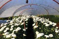 Chrysanthemum flower. Royalty Free Stock Images