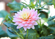 Chrysanthemum flower Royalty Free Stock Image