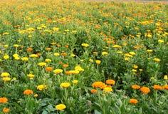 Chrysanthemum flower garden. Chrysanthemum flower autumn flowers in macro Stock Photography