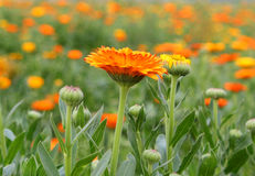 Chrysanthemum flower garden Royalty Free Stock Photo