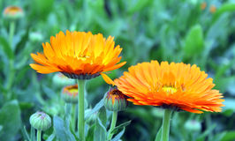 Chrysanthemum flower garden Stock Image