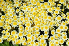 Chrysanthemum flower in the garden background Stock Photography