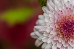 Purple and white Chrysanthemum flower royalty free stock images